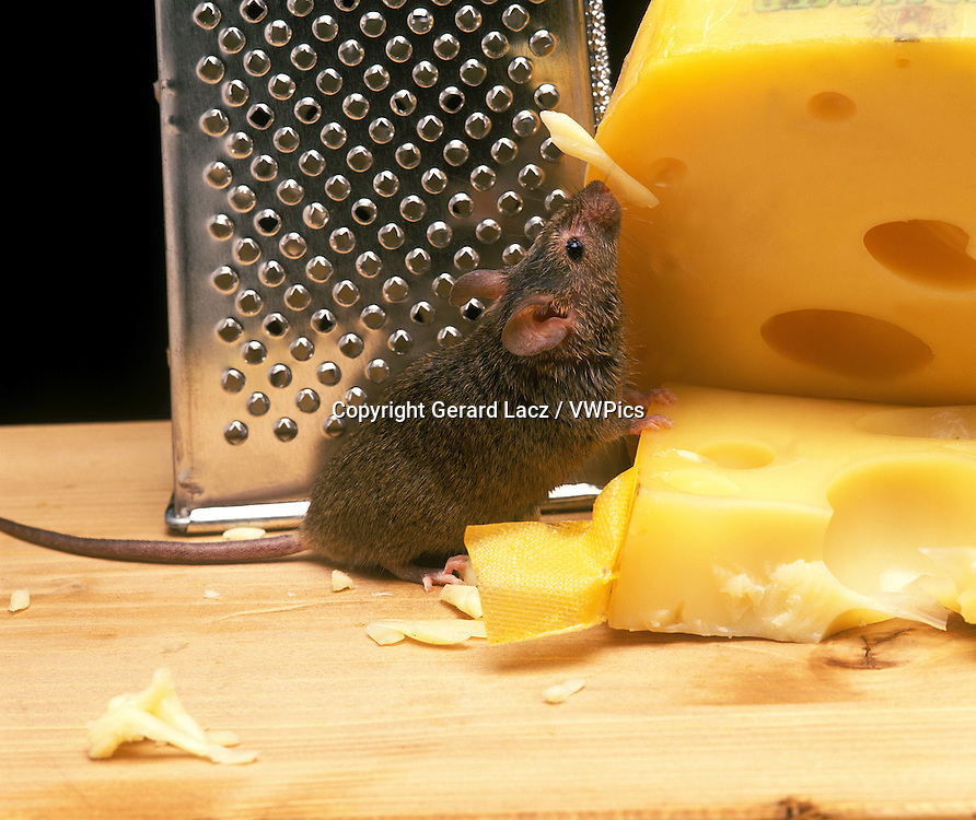House Mouse, mus musculus, Adult Eating Cheese
