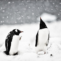 Two gentoo penguins in Cuverville Island, Antarctica<br /> <br /> Photographs from the Antarctic Peninsula created by Anuar Patjane during spring 2015