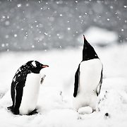 Two gentoo penguins in Cuverville Island, Antarctica<br />