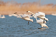 Tundra Swans; Cygnus columbianus, adults and juvenile, Saginaw Bay, Michigan