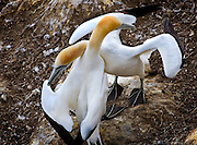 Gannet Colony, Otakamiro Point, Muriwai Beach, Northland, New Zealand