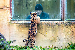 © Licensed to London News Pictures. 21/12/2017. Kirby Misperton UK. A Tiger cub born in August meets a member of the public today as she took her first steps outside today at Flamingo Land zoo in Yorkshire. The female cub is so far un-named & is the cub of Bawa & Surya. The new arrival was the culmination of seven years of hard work by Flamingo Land animal carers in their attempts to protect the critically endangered species. Photo credit: Andrew McCaren/LNP