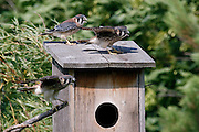American Kestrel fledglings