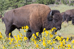 American bison herd in meadow behind daisies, Vermejo Park Ranch, New Mexico, USA.