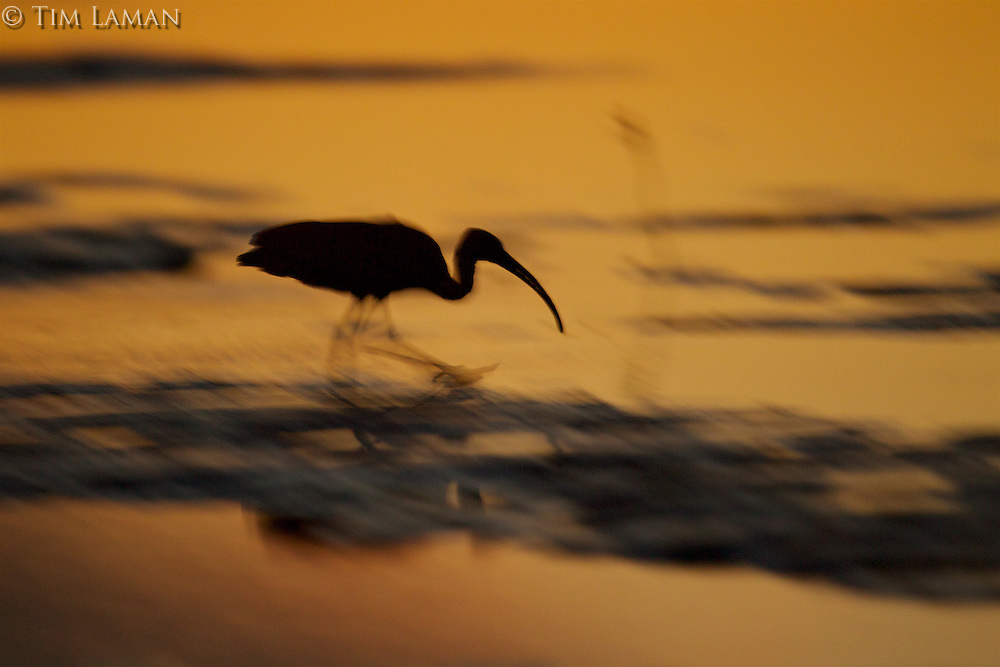 A Scarlet Ibis (Eudocimus ruber) foraging at sunset in the Orinoco River Delta, Venezuela.