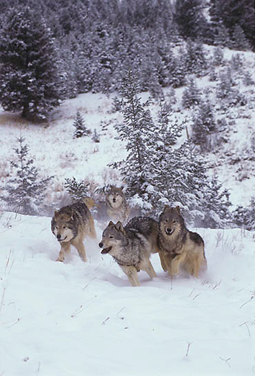 Gray Wolf, (Canis lupus) Adults running through Rocky mountains Winter.  Captive Animal.