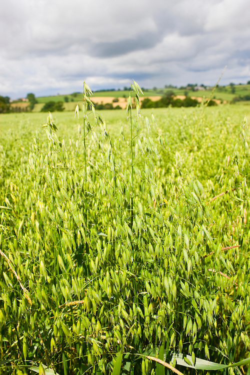 Crop of oats in arable farmland in Sibford Ferris, The Cotswolds, Oxfordshire, UK