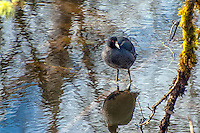 The American coot is a very common water bird found throught North America. Often found among ducks, it is actually not a duck at all, but a member of the rail family. This one was photographed near the base of the Nisqually River as it joins Washington's Puget Sound.