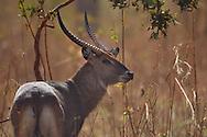 waterbuck, Kobus ellipsiprymnus, cobe à croissant