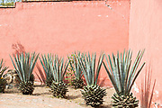 Agave plants against a pink adobe wall in San Miguel de Allende, Mexico.