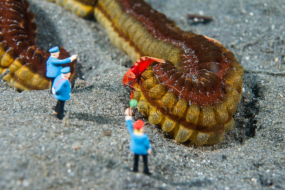 Workers - Tickets please, UW miniatures, Emperor shrimp, Periclimenes imperator, hitch hiking on lion's paw sea cucumber, Euapta godeffroyi, while a group of men standing next to it, Lembeh, Sulawesi, Indonesia
