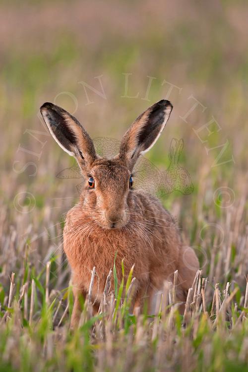 European Hare (Lepus europaeus) adult at rest in stubble field, Norfolk, UK.