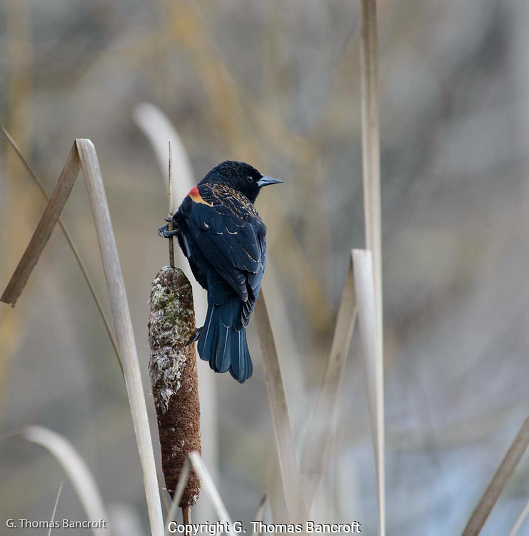 The male Red-winged Blackbird was displaying and calling vigorously from a cattail perch.  The displays were to keep other mailes out and attrack prospective mates.
