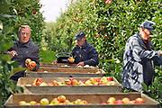 Nederland, Leuth, 12-9-2017Bij een fruitteler worden de appels geoogst. Ondanks de vorstperiode begin van het jaar is de oogst hier heel goed. De teler en zijn vrouw hebben rond Pasen 5 nachten beregend om de bloesem te beschermen. Het zijn de rassen Elstar en Red Print. De laatste is vooral voor de export naar o.a. het midden oosten en italie. De kwaliteit en kwantiteit zijn ondanks de vorst eerder dit jaar erg goed. Het is lastig genoeg plukkers te vinden. De vruchten worden binnengehaald door tijdelijke arbeidskrachten uit Polen en lokale ouderen die met pensioen zijn.Foto: Flip Franssen