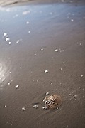 Common sand dollar in the tide of the sand bar in Sullivan's Island, SC.