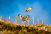 Megget, Selkirk, Scottish Borders, UK. 15th December 2017. A pair of buzzards (Buteo buteo) in the Selkirk hills near Megget in the Scottish Borders.