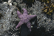 Purple, Starfish<br />