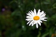 A Shasta Daisy (Leucanthemum x superbum) Flower