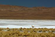 Vicuna at Salt flats, Salar de Jama, at Paso Jama, Jujuy, Argentina, South America