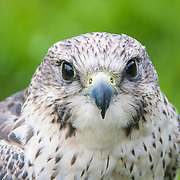 Zack, Peregrine / Saker Hybrid, Animal Magic Rehabilitation Centre, Kilmallock, Ireland http://www.animalmagic.ie/