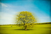 Abstraction of an oak tree in rural surroundings<br />