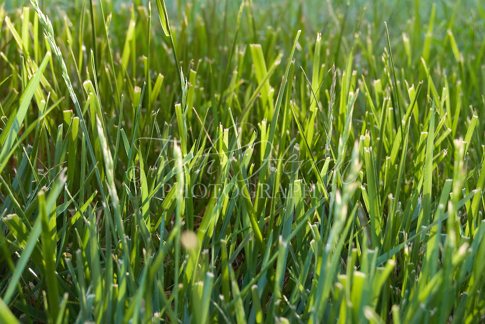 Sunlit grass in green lawn
