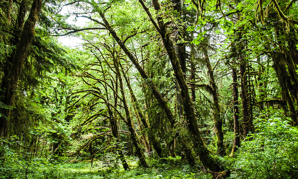 Hoh rainforest. Part of Olympic National Park, Washington.