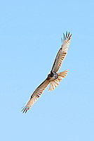 A Red Tailed Hawk soars across the sky eyeing the fields for mice and small birds.