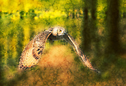 Digitally enhanced image of an owl in flight in a forest with wings spread