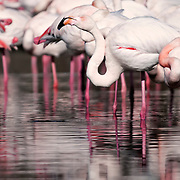 Flamingos in a group with water reflection