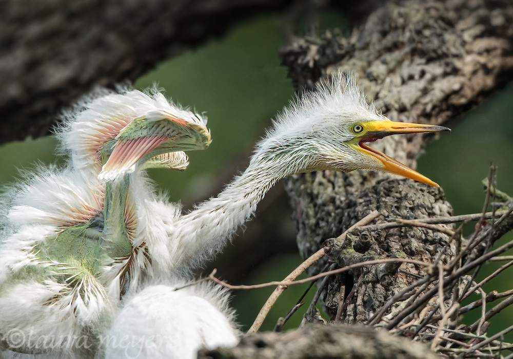 Great Egret baby chick on nest.