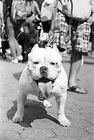 Awesome and playful mixed-Bully breed Dog making new friends in Central Park, NYC.