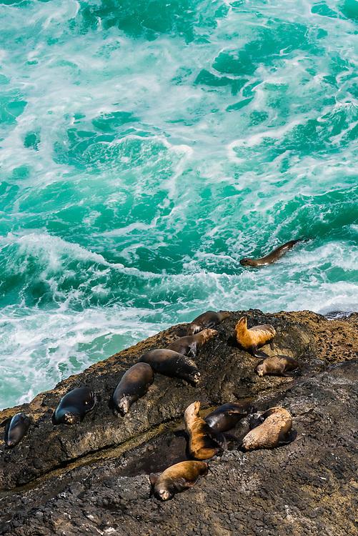 Sea lions lying on rocks near the Heceta Head Lighthouse, near Florence, Oregon USA.