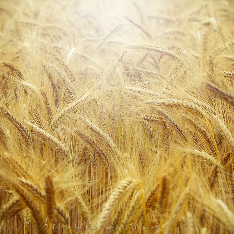 Softly texturized close-up  of a barley field in backlight