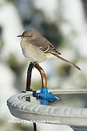 01395-02110 Northern Mockingbird (Mimus polyglottos) at heated bird bath in winter Marion Co.  IL