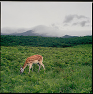 Wild Ezo Shika deer grazes in a pasture which is in fact reclaimed farmland bought with funds raised by the 100 Square Meters National Trust, Shiretoko National Park, an UNESCO World Heritage Site, Hokkaido , Japan.
