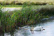 Female (pen) adult mute swan, Cygnus olor, Anatidae, with cygnets in summertime on wetland at Otmoor Nature Reserve, Oxfordshire, UK
