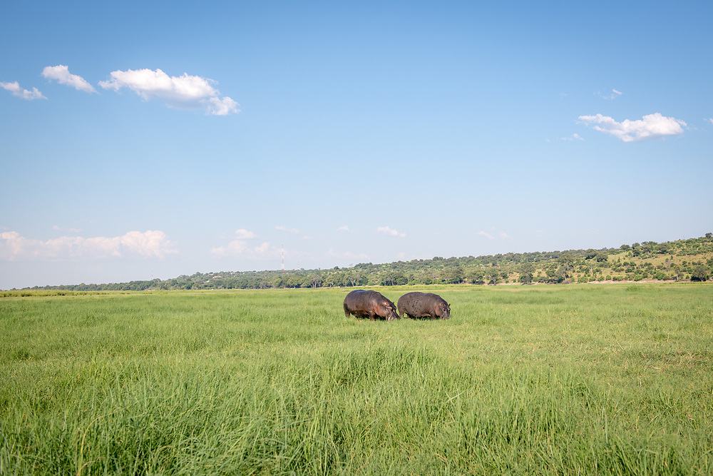 Two large hippopotamus' grazes on some grasses by the Chobe River. Chobe National Park - Botswana