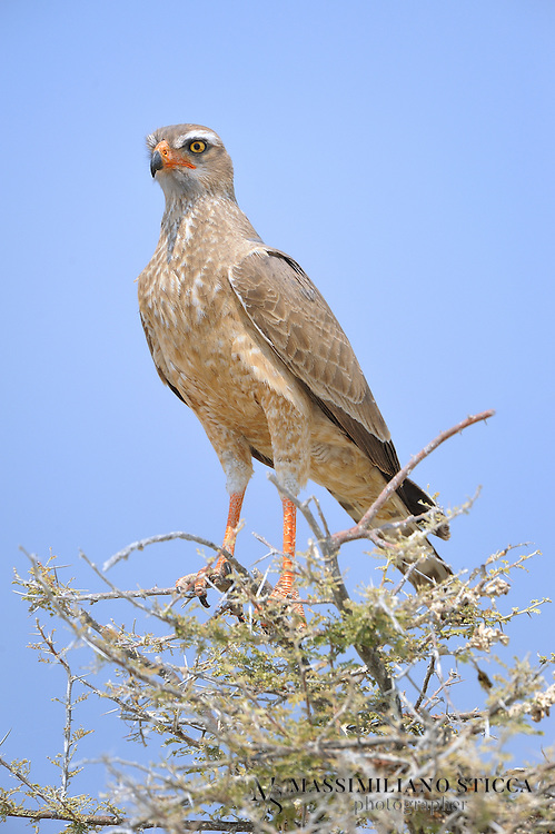 The gabar goshawk occurs in two very distinct forms that fluctuate in relative abundance across the species' range. The more common, paler form has largely grey upperparts, conspicuous white and grey barring on the chest, thighs and underwings, a white rump and a dark grey, barred tail. In contrast, the slightly rarer form, which accounts on average for approximately 25 percent of the overall population, is almost completely black. In both types of adult the eyes are dark, and the long legs and the obvious bare patch of skin around the base of the beak, known as the cere, are red. The cere and the legs are yellow in immature gabar goshawks and the plumage is generally browner, with the pale form having less tidy barring on the chest than the adult. Adult females are significantly larger than adult males, and weigh around 90 percent more