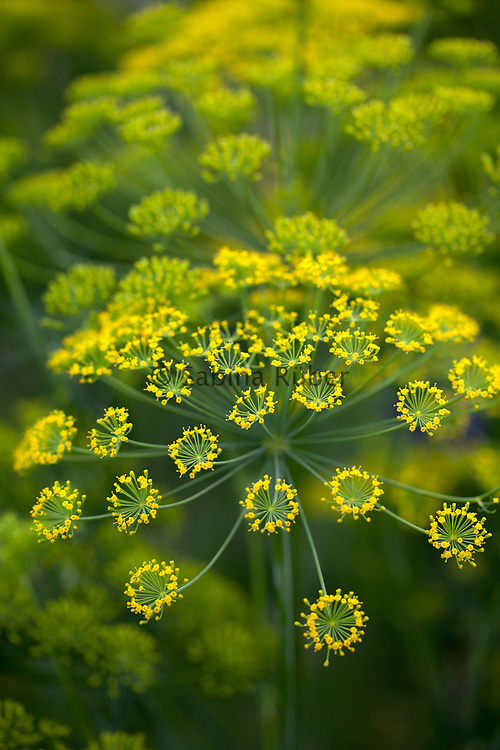 Anethum graveolens 'Vierling'- dill