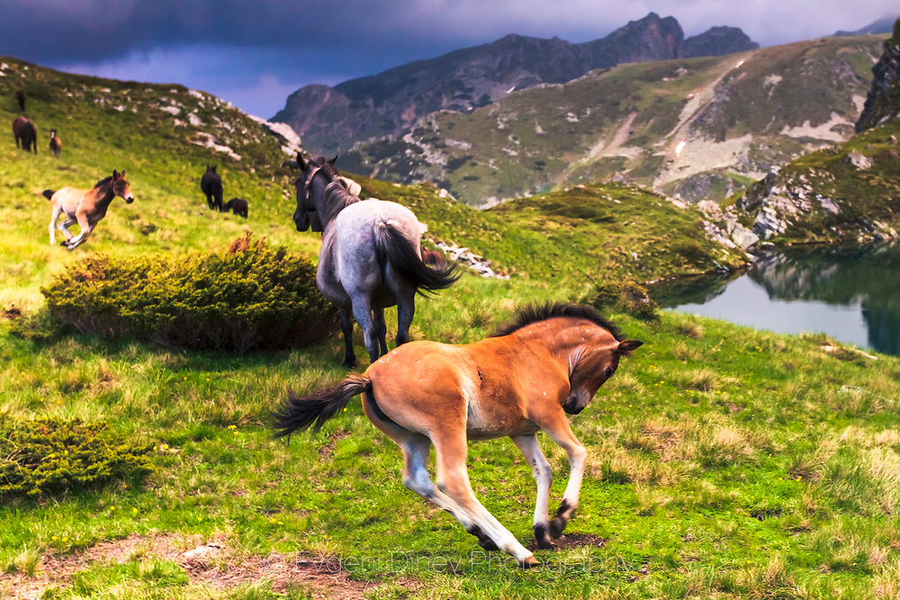 Playful foal in the mountain by a lake