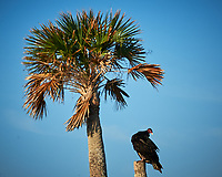 Turkey Vulture on a dead palm tree. Early morning at Biolab Road in Merritt Island National Wildlife Refuge. Image taken with a Nikon D700 camera and 18-300mm VR lens (ISO 200, 300 mm, f/11, 1/500 sec).