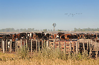 NOVILLOS Y MOLINO EN UN FEED LOT, CARMEN DE ARECO, PROVINCIA DE BUENOS AIRES, ARGENTINA