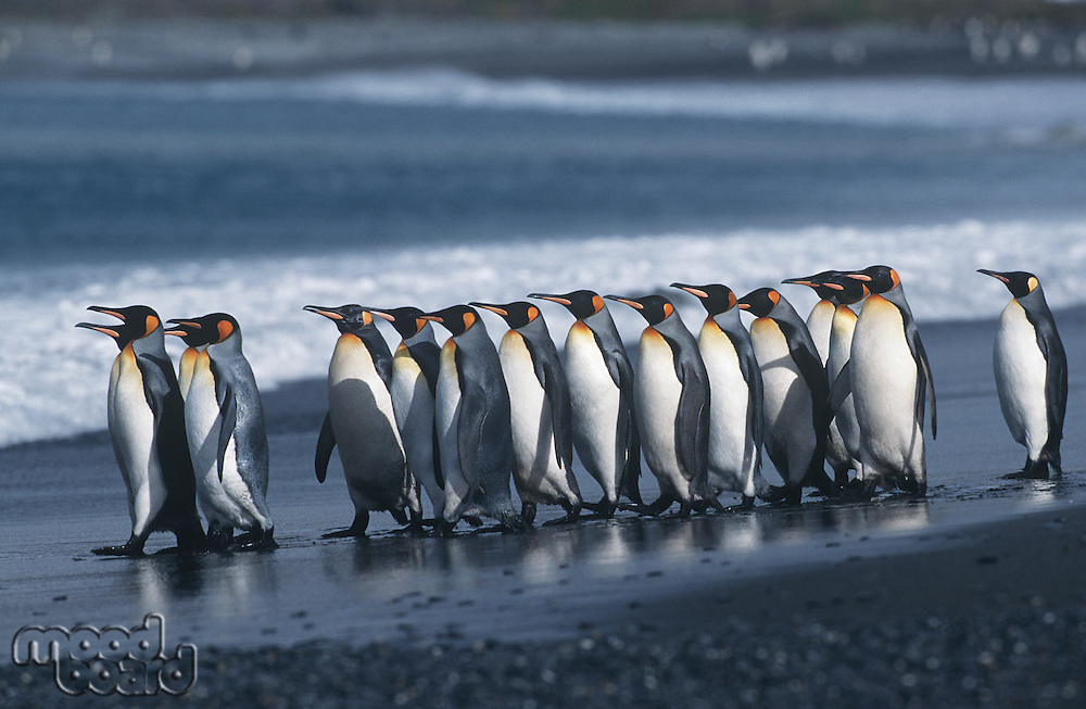 UK South Georgia Island colony of King Penguins marching on beach side view