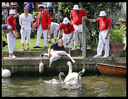 Image licensed to i-Images Picture Agency. 14/07/2014. Shepperton, United Kingdom.  Swan Uppers release swans back into the water after they were brought ashore to be weighed and measured during the Swan Upping, the annual census of the swan population on the river Thames . Picture by Stephen Lock / i-Images