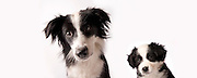 A border collie / australian shepherd mix female at 9 weeks (left) and nine months old.