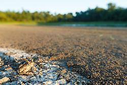 "Toad on mud of drying ephemeral pond,  ""Secret Bird Pond"" near Trinity River Audubon Center, Great Trinity Forest, Dallas, Texas, USA."