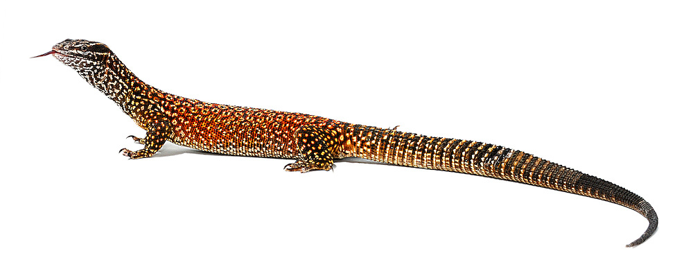 Ridge-tail Monitor (Varanus acanthurus), also known as the Spiny-tailed Monitor, native to Australia.