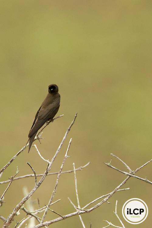 Black Saw-wing (Psalidoprocne pristoptera) swallow, Lope National Park, Gabon