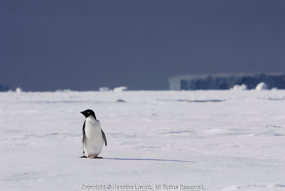 Adelie Penguin on the sea ice with ice bergs in the background.